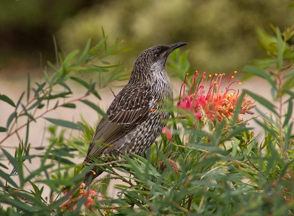 Little wattle bird on acacia bush